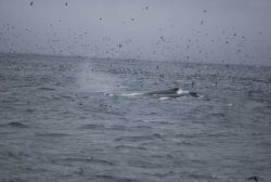 Dolphin riding the bow wave Photo
