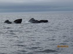 Dolphin riding bow wave Photo