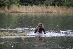 Brown bear fishing. Photo