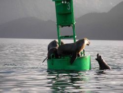 Sea lion king-of-the-hill as played out on buoy. Photo