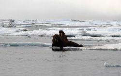 Two walrus on a small ice floe. Photo