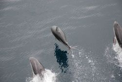 Dolphins leaping ahead of the bow wave of the ship. Photo
