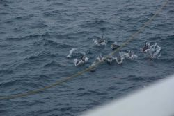 Dolphins approaching the ship to ride in the bow wave. Photo