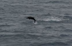 Leaping dolphin. Photo