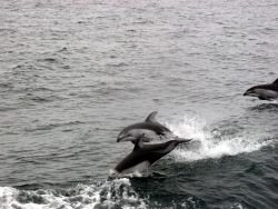 Leaping dolphins. Photo