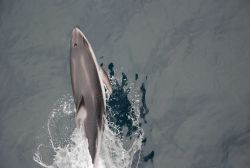 Looking down on a leaping dolphin. Photo