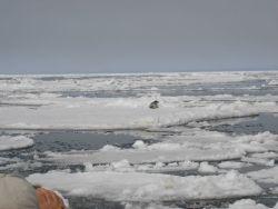 Seal on ice. Photo