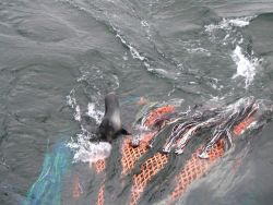 Hair seal caught in net Photo