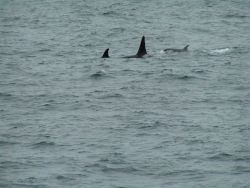 Killer whales. Photo
