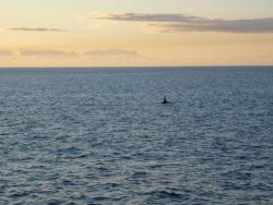 Large killer whale dorsal fin. Photo
