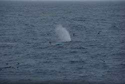 Humpback whale spouting. Photo