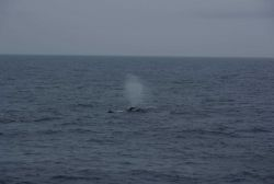 Humpback whale spouting with dolphin in close proximity. Photo