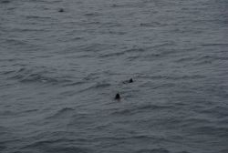 Steller sea lions at sea with dolphin in upper left corner of image. Photo
