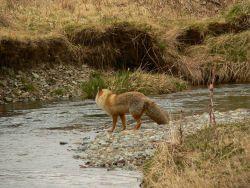 Fox. Photo