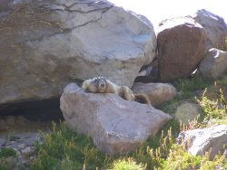 Chupacabra! Maybe just a demented looking marmot. Photo