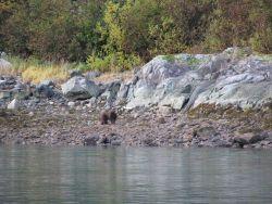 Brown bear at water's edge. Photo