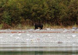 Black bear strolling along the shore checking out the survey launch. Photo
