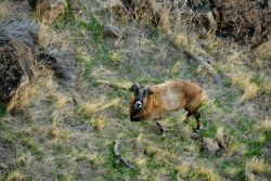 Mountain sheep. Photo
