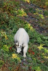 Mountain goats. Photo