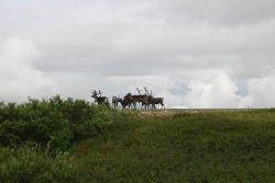 Probably domestic reindeer. Photo