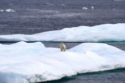 Polar bear on ice floe. Photo