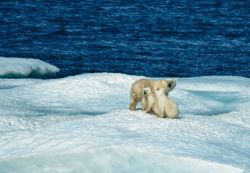 Polar bear and two cubs on ice floe. Photo
