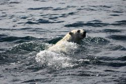 Polar bear swimming. Photo