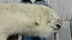 Polar bear rug. Photo