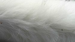 Polar bear hair is pigment free and transparent with a hollow core that scatters and reflects visible light, giving the white appearance. Photo