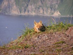 Red fox. Photo