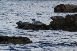 Harbor seals Photo