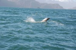 Sea lion cavorting? escaping from predator? Photo