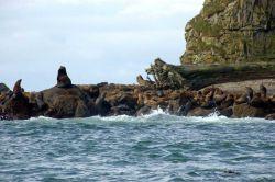 Steller sea lions. Photo