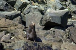 Northern fur seal. Photo