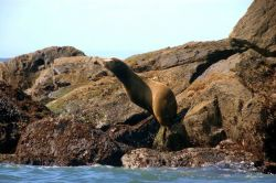 Steller sea lion. Photo