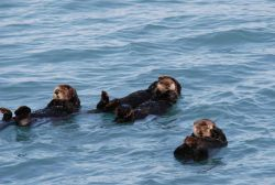 Sea otters. Photo
