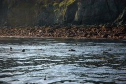 Sea otters in a kelp bed near a rocky shore. Photo