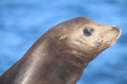 Head shot of Steller sea lion Photo