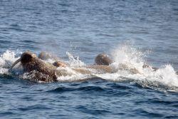Walruses. Photo