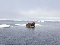 Walruses on an ice floe. Photo