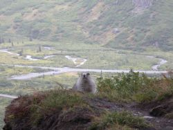 Marmot. Photo