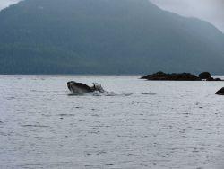 Humpback whale feeding. Photo