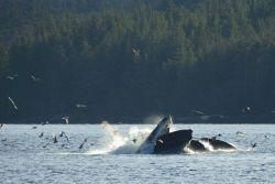 Humpback whales lunge feeding. Photo