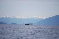 Humpback whale breaching. Photo