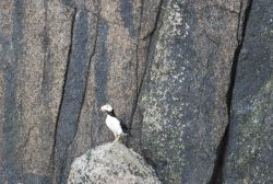 A horned puffin. Photo