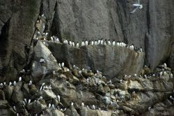 Common murres at top and black-legged kittiwakes Photo