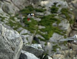Horned puffin in flight. Photo