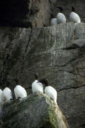 Common murres. Photo