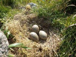 Willow ptarmigan eggs. Photo
