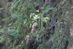 Female willow ptarmigan. Photo